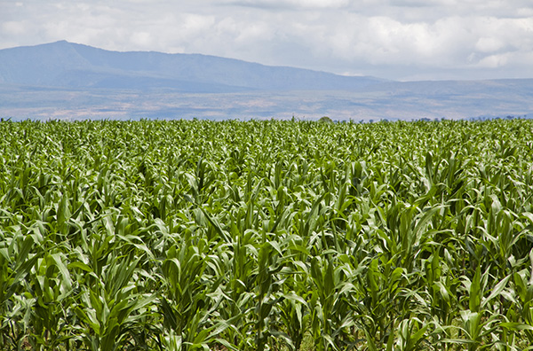 Corn Field in Eastern Africa
