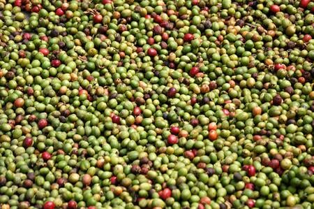 Processing and Drying the Cherries